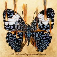 """""""THE BUTTERFLY PROJECT #14, N. Hamadryas amphinome"""" Oil and 23 K Gold Leaf on Panel, 13"""" x 13"""""""