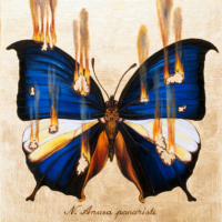 """""""THE BUTTERFLY PROJECT #16, N. Anaea panariste"""" Oil and 23 K Gold Leaf on Panel, 13"""" x 13"""""""