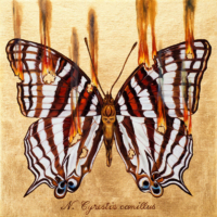 """""""THE BUTTERFLY PROJECT #6, N. Cyrestis camillus"""" Oil and 23 K Gold Leaf on Panel, 13"""" x 13"""""""