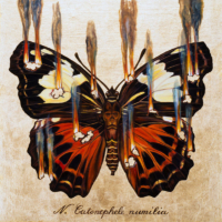 """""""THE BUTTERFLY PROJECT #8, N. Catonephele numilia"""" Oil and 23 K Gold Leaf on Panel, 13"""" x 13"""""""